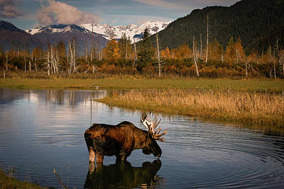Photograph - Bull Moose by Benjamin Dahl