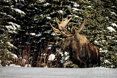 Photograph - Bull Moose by Brad Allen Fine Art