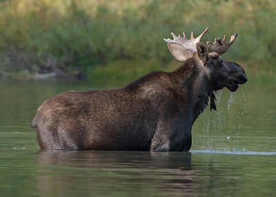 Photograph - Bull Moose by Chris LeBoutillier