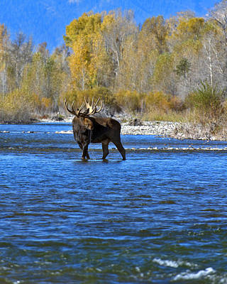 Gros Ventre Photograph - Bull Moose Crossing by Gary Langley