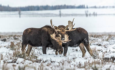 Photograph - Bull Moose During Winter In Wyoming by Yeates Photography