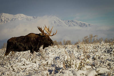 Photograph - Bull Moose, Grand Teton National Park by Benjamin Dahl
