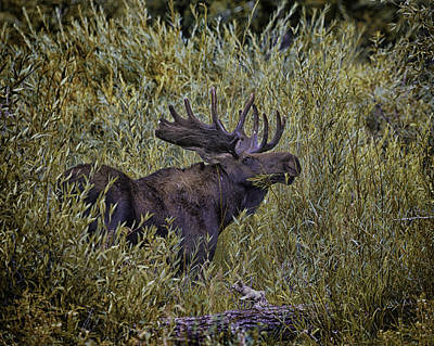 Photograph - Bull Moose In The Willows by Elizabeth Eldridge