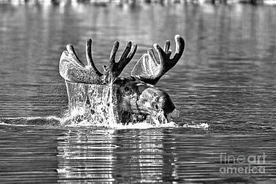 Photograph - Bull Moose Mouthful Black And White by Adam Jewell