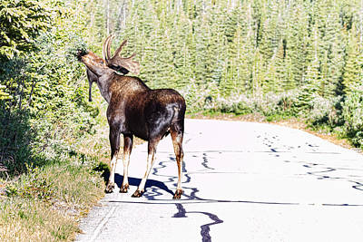 Photograph - Bull Moose Munching In The Road by James BO  Insogna