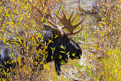 Photograph - Bull Moose On The Gros Ventre by Kathleen Bishop