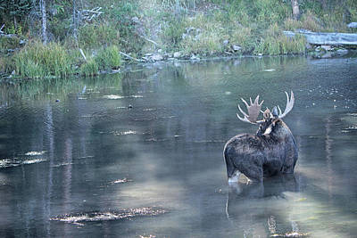 Photograph - Bull Moose Reflection by Marta Alfred