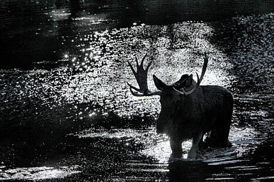 Photograph - Bull Moose Shadow by Marta Alfred