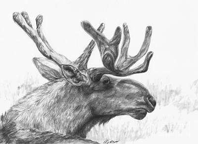 Drawing - Bull Moose Study by Meagan  Visser