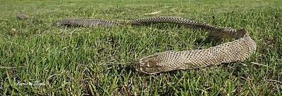 Photograph - Bull Snake Skin by Karen Slagle