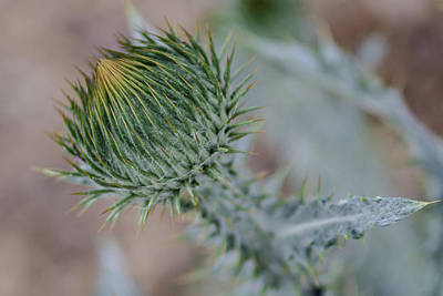 Photograph - Bull Thistle by Rick Mosher