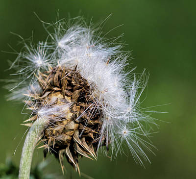Photograph - Bull Thistle Seeds  by Kathy Clark