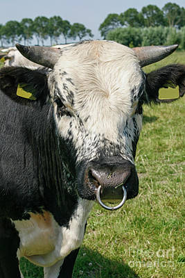 Photograph - Bull With Snout Ring by Patricia Hofmeester