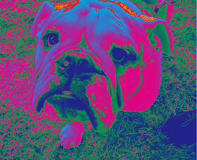 Photograph - Bulldog #2 by Anne Westlund
