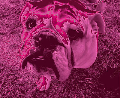 Photograph - Bulldog #4 by Anne Westlund