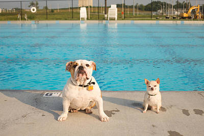 Bulldog And Chihuahua By The Pool Art Print