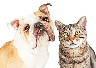 Head Shot Photograph - Bulldog And Tabby Cat Close-up by Susan Schmitz