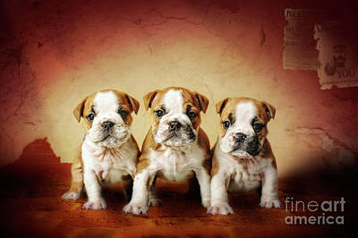 Photograph - Bulldog Puppies by Waldek Dabrowski