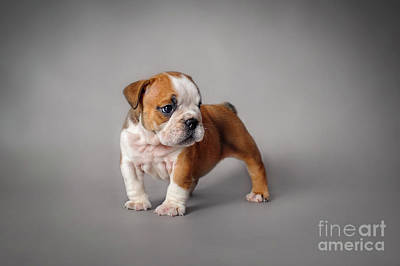 Photograph - Bulldog Puppy by Waldek Dabrowski