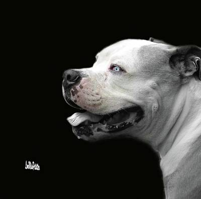 Digital Art - Bulldog Sando  Portrait  by Miss Pet Sitter