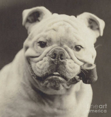 Of Dogs Photograph - Bulldog Smoking A Pipe by English School