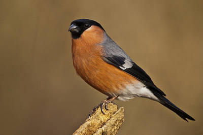 Photograph - Bullfinch by Andy Beattie Photography