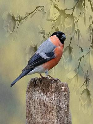 Photograph - Bullfinch Bird by Movie Poster Prints