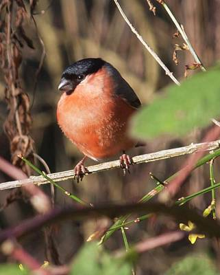 Photograph - Bullfinch Male by Richard Thomas