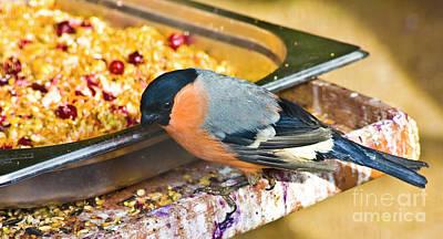 Photograph - Bullfinch - Pyrrhula by Irina Afonskaya