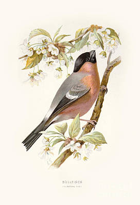 Digital Art - Bullfinch Restored by Pablo Avanzini