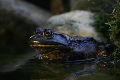 Bullfrog 1 Art Print