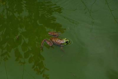 Photograph - Bullfrog by Kathryn Meyer
