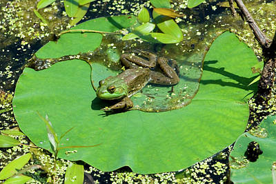 Frogs Photograph - Bullfrog On Lily Pad With Flower by Michael Barry