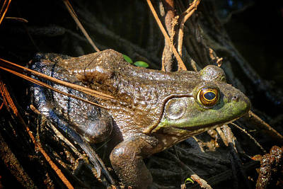 Photograph - Bullfrog Resting by Kathi Isserman