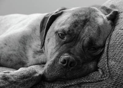 Photograph - Bullmastiff B/w by Jennifer Ancker