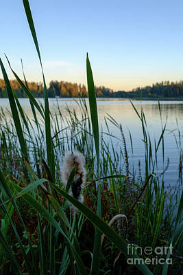 Photograph - Bulrush And September Evening by Ismo Raisanen