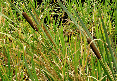Photograph - Bulrush. by Elena Perelman