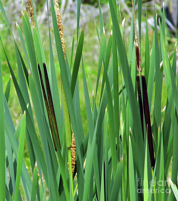 Photograph - Bulrushes by D Hackett