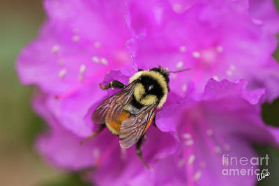 Photograph - Bumble Bee by Alana Ranney
