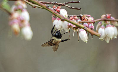 Photograph - Bumble Bee And Blueberry Buds by Cathy Harper