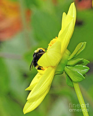 Photograph - Bumble Bee And Flower by Jack Moskovita