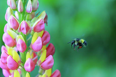 Photograph - Bumble Bee And Lupine by Eti Reid