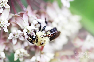 Photograph - Bumble Bee And Milkweed by Stephanie Frey