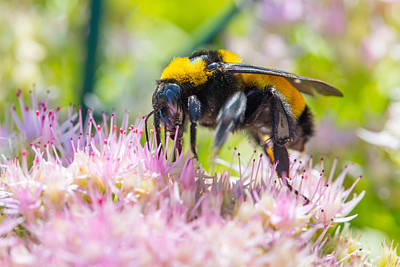 Photograph - Bumble Bee And Sedum by SR Green