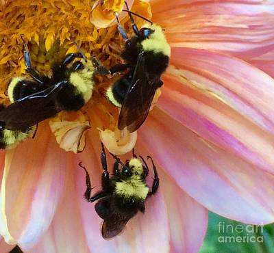 Photograph - Bumble Bee Gathering by Terri Thompson