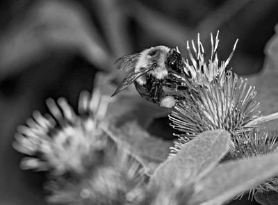 Flora Photograph - Bumble Bee Harvest 3 - Bw by Steve Harrington