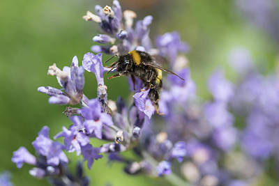 Photograph - Bumble Bee In Motion On The Lavender Flower Closeup by Jaroslav Frank
