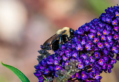 Photograph - Bumble Bee by James L Bartlett