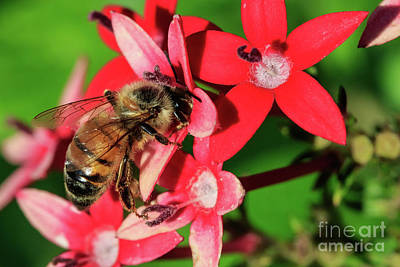 Photograph - Bumble Bee On A Flower by Richard Smith