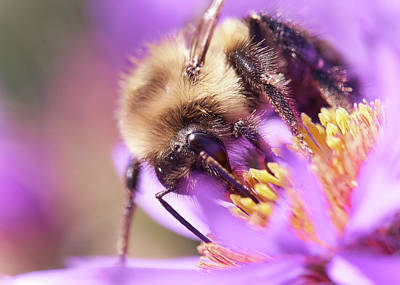 Photograph - Bumble Bee On Aster by Jim Hughes